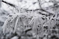 Geada luxúria do inverno no ramo de uma árvore fotografia de stock