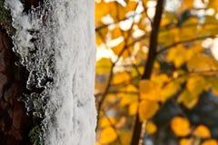 Geada no tronco de árvore no outono Imagens de Stock Royalty Free