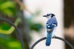 Geai bleu été perché sur un conducteur d'oiseau photo libre de droits