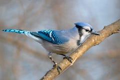 Geai bleu photographie stock