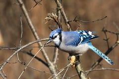 Geai bleu Image libre de droits