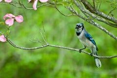 Geai bleu photos stock
