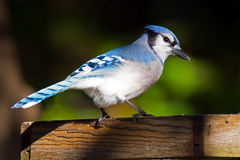 Geai bleu Photos libres de droits