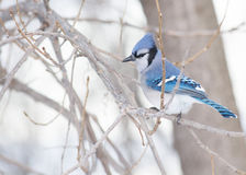 Geai bleu Photographie stock libre de droits