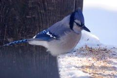 Geai bleu Photo stock