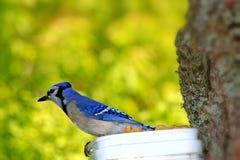 Geai bleu Images stock