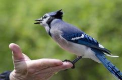 Geai bleu amical… Photos libres de droits