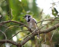 Geai bleu dans la forêt Photos libres de droits