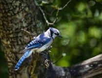 Geai bleu dans le pommier II image libre de droits