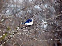 Geai bleu dans un arbre image libre de droits