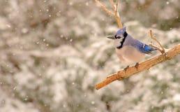 Geai bleu dans une tempête de neige Photos libres de droits
