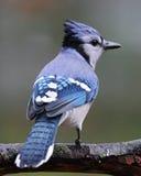 Geai bleu de jour pluvieux image libre de droits