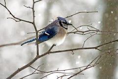 Geai bleu de l'hiver photographie stock libre de droits