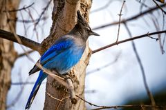 Geai bleu du ` s de Steller dans un arbre Images libres de droits