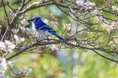 Geai bleu oriental dans l'arbre de cornouiller blanc de floraison Photo stock