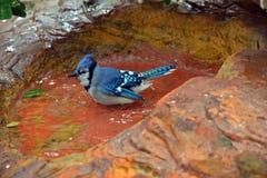 Geai bleu se reposant dans l'eau Photographie stock
