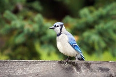 Geai bleu sur la barrière Photo libre de droits