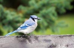 Geai bleu sur la barrière en bois Photos libres de droits