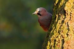 Geai eurasien, glandarius de Garrulus, portrait d'oiseau gentil se reposant sur le tronc d'arbre Oiseau avec l'écrou dans la fact photos stock