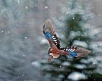 Geai eurasien, vol de glandarius de Garrulus dans la neige en baisse images stock