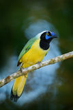 Geai jaune de vert d'oiseau, yncas de Cyanocorax, nature sauvage, Belize Bel oiseau d'Amérique du Sud Observation des oiseaux en  Image libre de droits