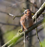 Geai sur la branche dans la forêt Photo libre de droits