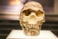 Gealterter Schädel auf einem Museumsstand Stockfoto