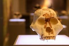 Gealterter Schädel auf einem Museumsstand Stockbilder