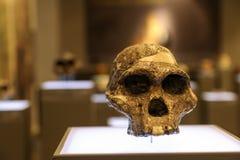 Gealterter Schädel auf einem Museumsstand Lizenzfreies Stockbild
