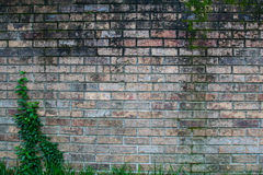 Gealterter Ziegelstein mit Ivy Left stockfotografie