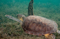 Gean Sea Turtle on a reef in south Florida. A green sea turtle swimming on a reef Stock Photos