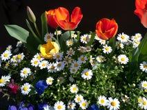 Geassorteerde bloemen, rode tulpen en margriet Stock Fotografie