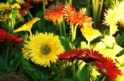 Geassorteerde gerberabloemen Stock Afbeeldingen