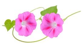 Geassorteerde Ipomea-bloemen Royalty-vrije Stock Foto's
