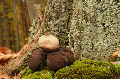 Geastrum rufescens fungus. Commonly known as the rosy earthstar stock photography