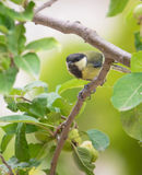 Geat Tit in an Apple Tree Stock Photography