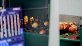 Geautomatiseerd materiaal in een fabriek voor was, het drogen en het sorteren appelen Rijpe appelen die door grootte en kleur sor stock footage