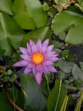 Gebürtige Hawaii-Blumen Lizenzfreie Stockbilder