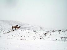 Gebürtige Tiere, (Guanacos) der Anden Lizenzfreie Stockbilder