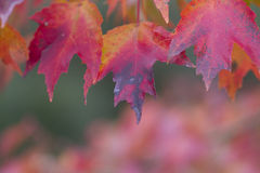 Gebürtiger Alabama-Ahorn-Herbst-Blatt-Hintergrund Stockfotografie