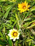 Gebürtiges Gelbes und Weiß färbten Blumen bei Cabo DA Roca, Sintra in Portugal Stockfotos