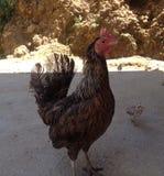 Gebürtiges Huhn Lizenzfreie Stockfotografie