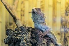 Gebaarde Agama zit op een houten tak in terrarium royalty-vrije stock foto's