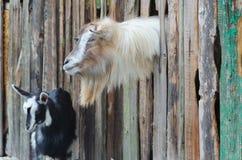 Gebaarde geit die door kijken houten raad Stock Foto