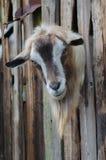 Gebaarde geit die door kijken houten raad Stock Fotografie