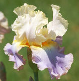 Gebaarde Iris Stock Fotografie