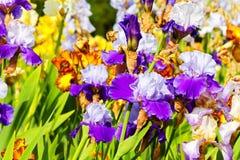 Gebaarde iris royalty-vrije stock afbeelding