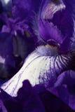 Gebaarde iris Royalty-vrije Stock Foto's