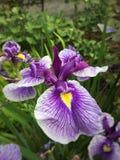 Gebaarde iris Royalty-vrije Stock Afbeeldingen