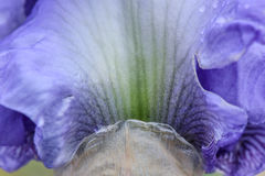 Gebaarde Iris Flower Petal Abstract Royalty-vrije Stock Afbeeldingen